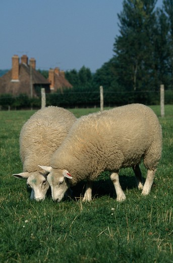 Stock Photo: 4141-30310 lleyn lambs grazing ovis aries selling, kent, england. august