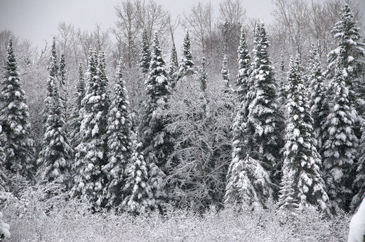Stock Photo: 4141-30453 winter scene of snowy spruce or boreal forest, near thunder bay, ontario, canada