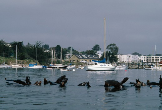 Stock Photo: 4141-30589 california sealion group zalophus californianus in shallows california, usa