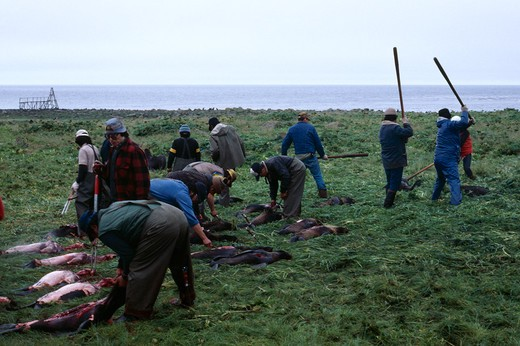 Stock Photo: 4141-30592 northern fur seal carcasses being laid out by culling party saint paul island, pribilof islands, alaska, usa >>