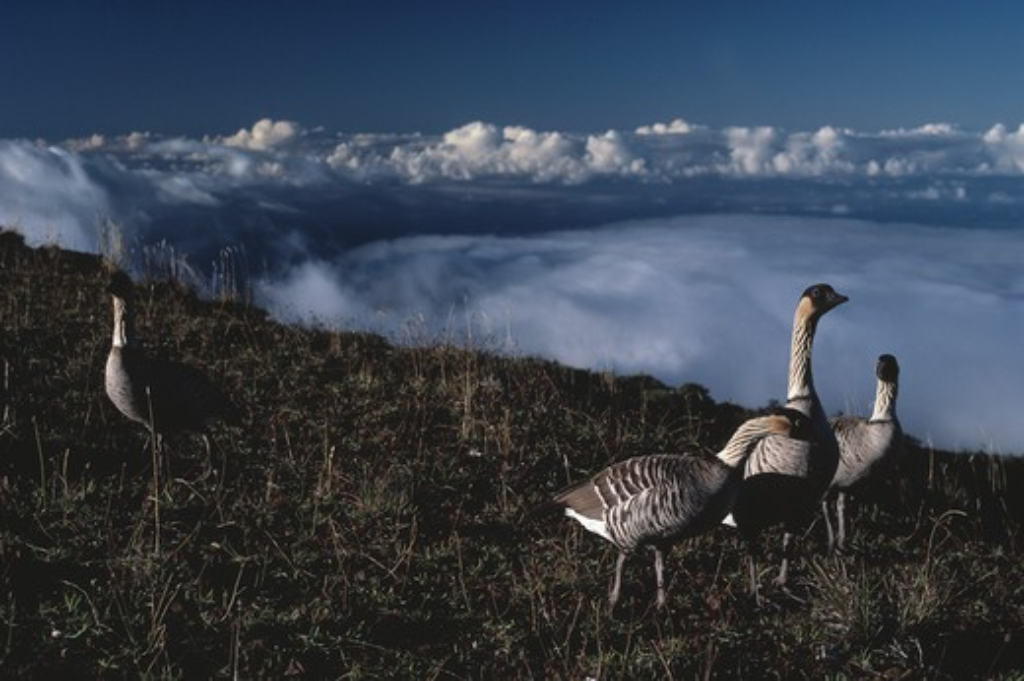 hawaiian or nene goose group branta sandvicensis island of maui, hawaii, usa endangered species  : Stock Photo