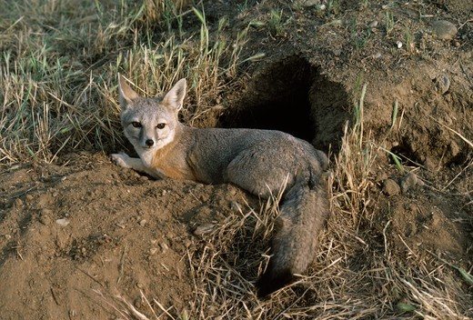 Stock Photo: 4141-30684 san joaquin kit fox vulpes velox at earth entrance carrizo plain, california, usa endangered species