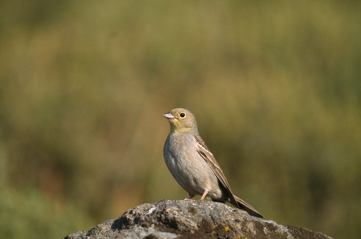 cinereous bunting male emberiza cineracea lesvos, greece. : Stock Photo