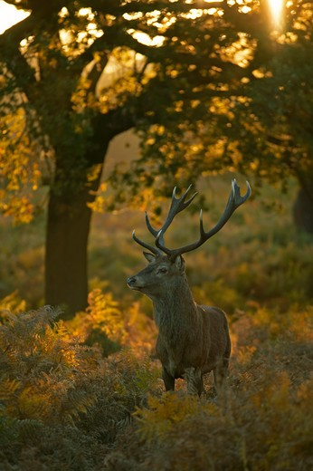 Stock Photo: 4141-308 red deer stag in rut cervus elaphus richmond park, london