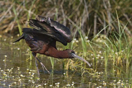 glossy ibis wing stretch plegadis falcinellus  : Stock Photo