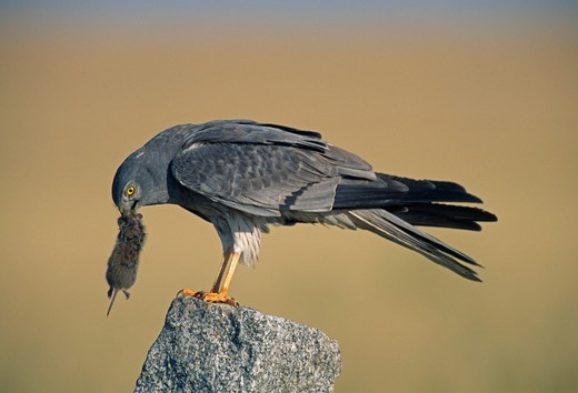 montagu's harrier circus pygargus male with vole prey : Stock Photo