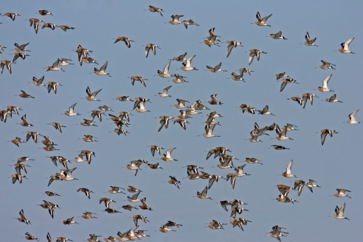 black-tailed godwit limosa limosa group in flight norfolk, uk : Stock Photo