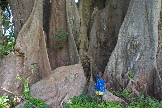 Fromage tree and child largest fromage tree in senegal for How to calculate board feet in a tree