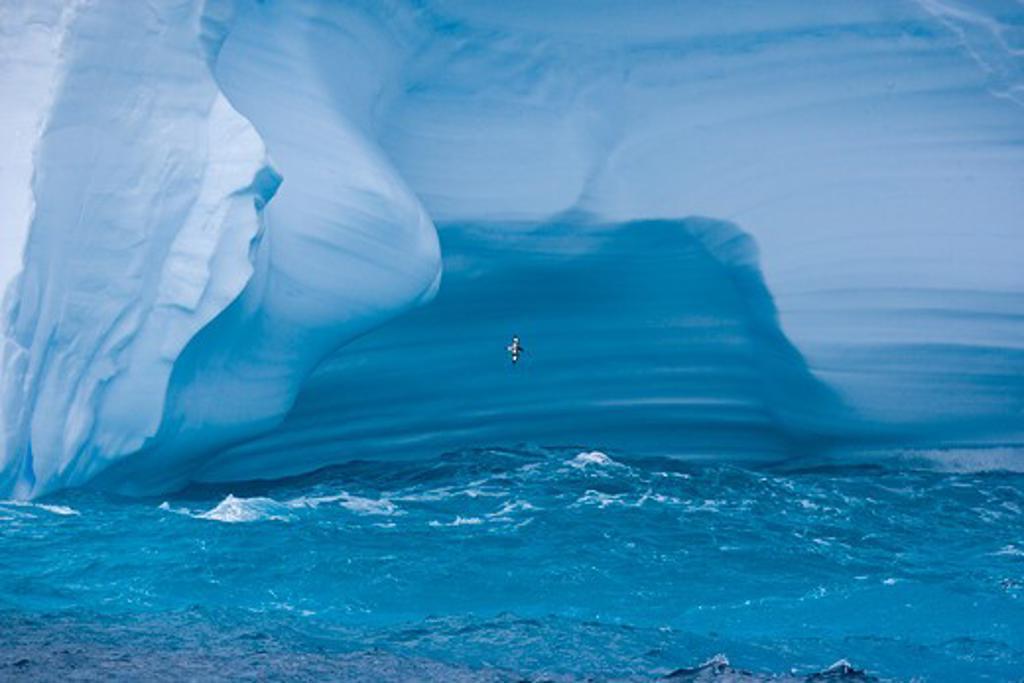 Stock Photo: 4141-31166 blue iceberg with cape petrel (daption capense), south georgia