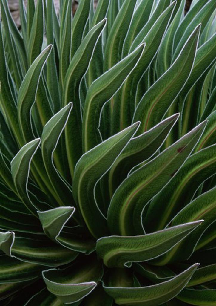 Stock Photo: 4141-3119 giant lobelia leaves, at 3500m lobelia deckenii keniensis teleki valley, mt kenya national park, kenya, eastern africa
