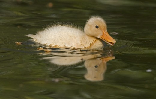 Stock Photo: 4141-31216 duckling domesticated hybrid swimming and quacking; norfolk uk