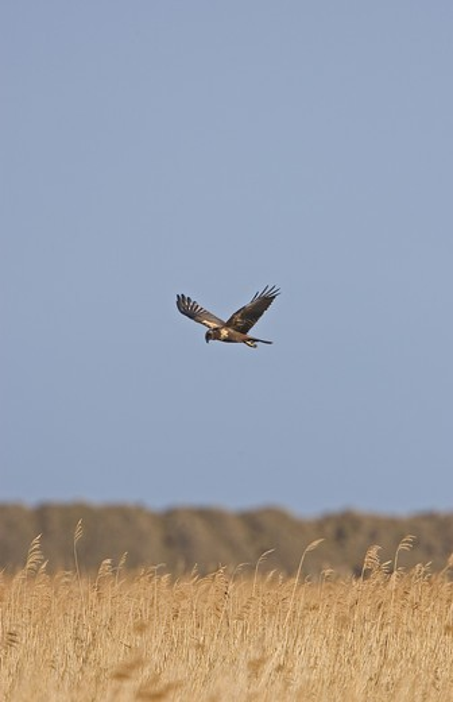 marsh harrier (circus aeruginosus) female in flight over reed beds. norfolk : Stock Photo