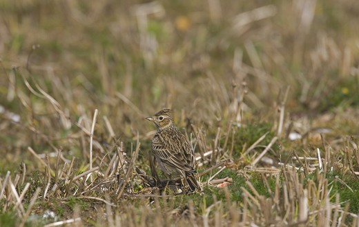 Stock Photo: 4141-31356 skylark (alauda arvensis) in stubble field norfolk