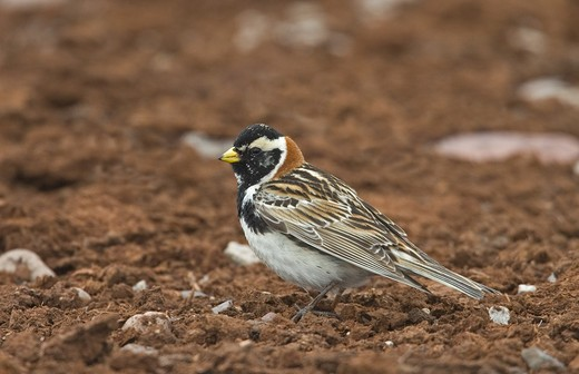 Stock Photo: 4141-31382 lapland bunting (calcarius lapponicus) varanger fiord norway