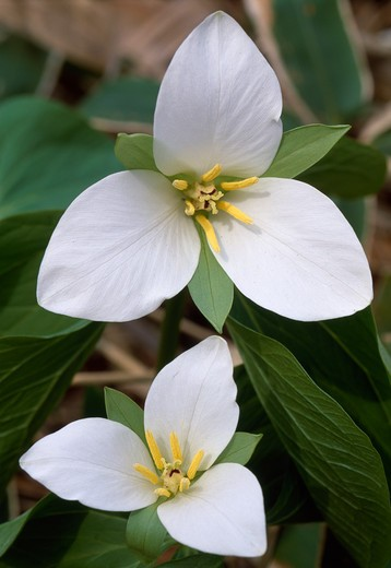 kamchatka trillium flowers trillium kamtschaticum hokkaido, japan may : Stock Photo