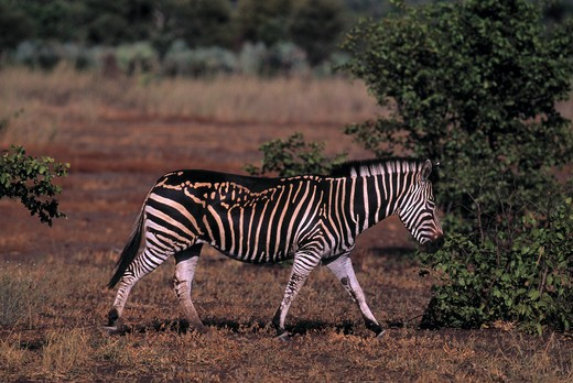 Stock Photo: 4141-31537 burchell's or plains zebra equus burchelli with abnormal markings kruger national park, south africa