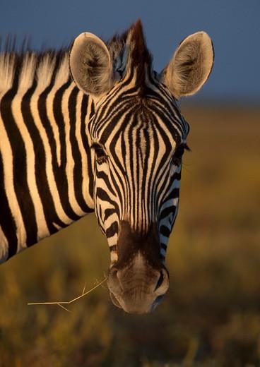 burchell's zebra eating equus burchelli etosha national park, namibia.  : Stock Photo