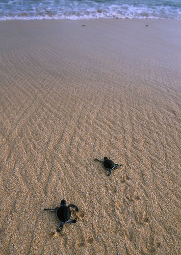 Stock Photo: 4141-3166 green turtle chelonia mydas hatchlings dashing for the sea ascension island, atlantic ocean