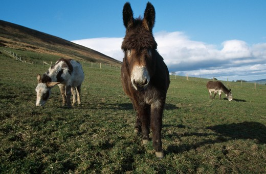 Stock Photo: 4141-31720 donkey sanctuary for donkeys working at blackpool sands, lancashire, england