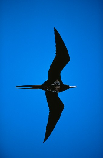 Stock Photo: 4141-3182 ascension frigatebird fregata aquila male in flight ascension island, atlantic ocean endemic