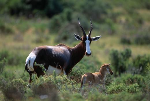 bontebok with young damaliscus dorcas dorcas de hoop reserve, south africa. : Stock Photo