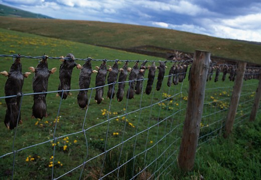 Stock Photo: 4141-31867 moles, caught and hung on fence talpa europaea upper teesdale, county durham, uk