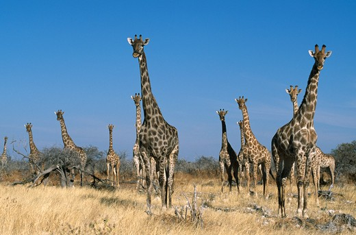 giraffes group of eleven. giraffa camelopardalis etosha national park, namibia. : Stock Photo