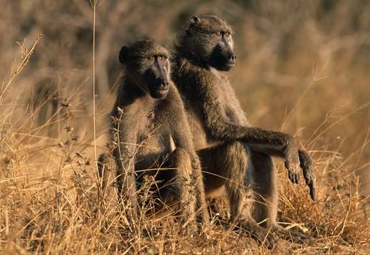 Stock Photo: 4141-31961 chacma baboons pair sitting. papio ursinus kruger national park, south africa.