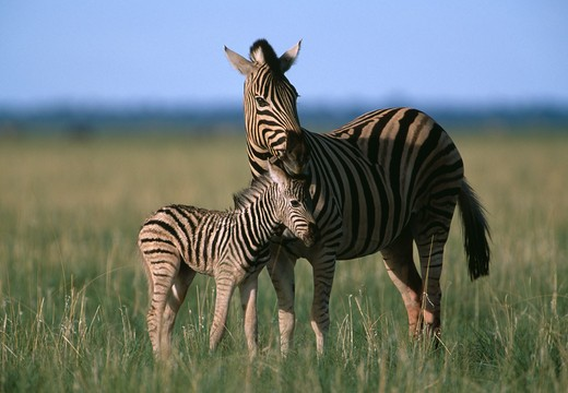 burchell's or plains zebra equus burchelli with newborn foal etosha national park, namibia. : Stock Photo