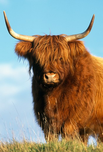 Stock Photo: 4141-32060 highland cattle conservation grazing on arnside knott, arnside, cumbria, uk.
