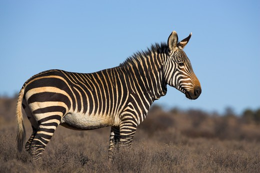 cape mountain zebra equus zebra zebra mountain zebra national park, eastern cape, south africa : Stock Photo