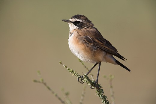 capped wheatear oenanthe pileata juvenile kgalagadi transfrontier park, south africa. : Stock Photo