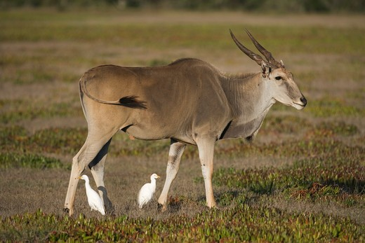 Stock Photo: 4141-32424 eland tragelaphus oryx with cattle egret (bubulcus ibis) de hoop nature reserve, western cape, south africa.