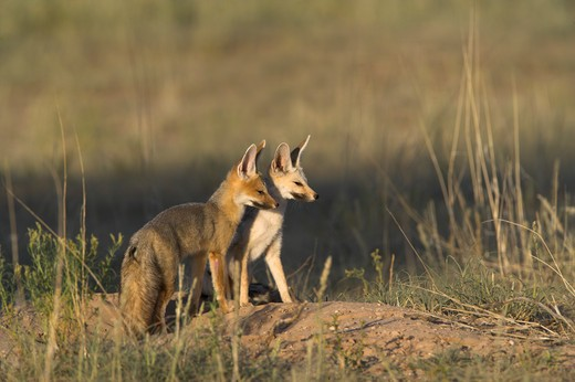 silver or cape fox vulpes chama pair kgalagadi transfrontier park, northern cape, south africa. : Stock Photo