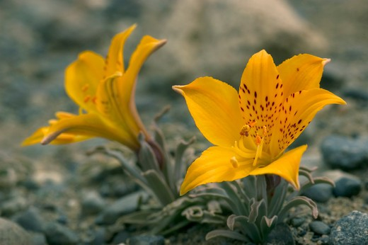 Stock Photo: 4141-3295 sand alstroemeria alstroemeria patagonica lily family calafate, argentina