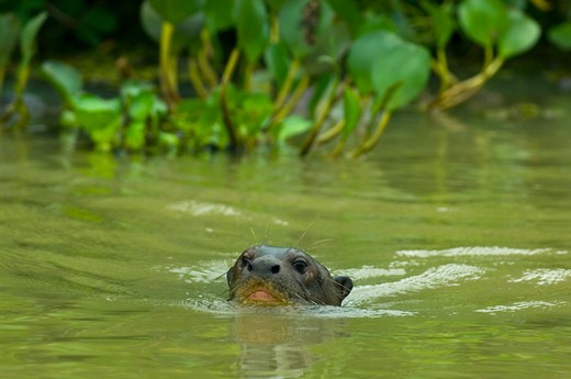 Stock Photo: 4141-3353 giant otter swimming pteronura brasiliensis pixaim river, pantanal, brazil