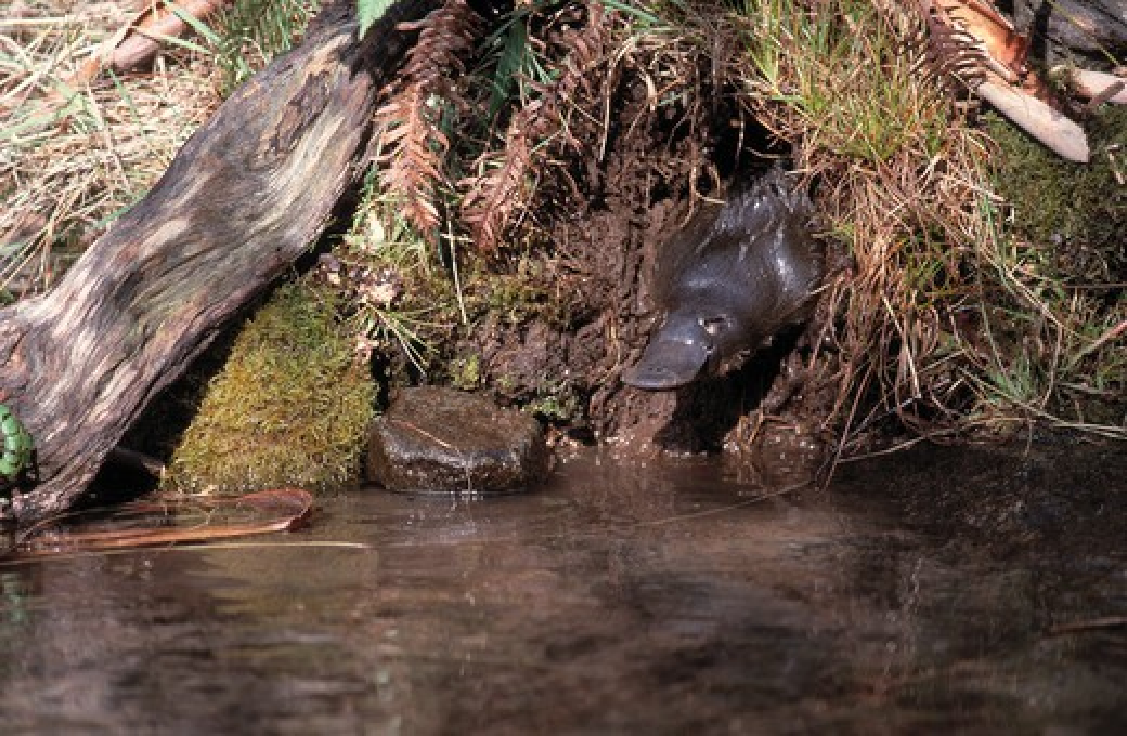 platypus or duckbilled platypus ornithorhynchus anatinus australia. egg-laying mammal : Stock Photo