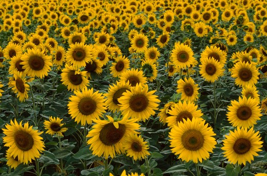 sunflower crop in bloom helianthus annuus provence, southern france  : Stock Photo