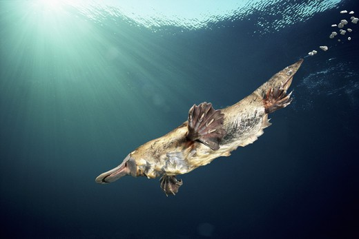 Stock Photo: 4141-34324 platypus or duckbilled platypus ornithorhynchus anatinus female swimming underwater. australia. digitally manipulated image