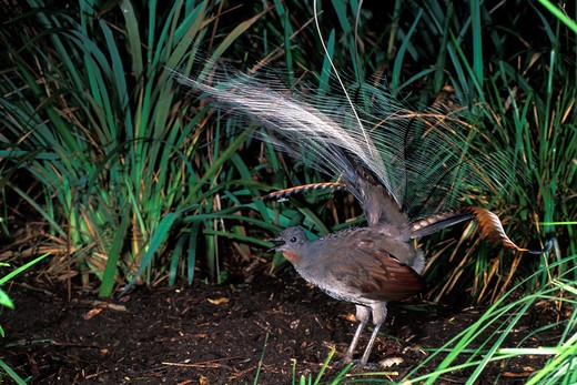 Stock Photo: 4141-34374 superb lyrebird menura novaehollandiae male singing healesville sanctuary, victoria, australia