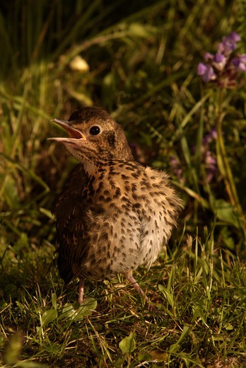 Stock Photo: 4141-34404 song thrush	 turdus philomelos juvenile sun-bathing france