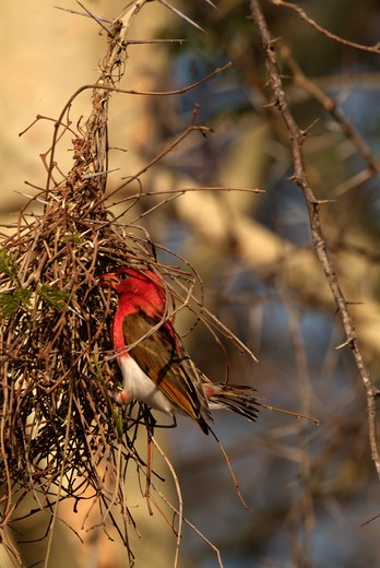 red-headed weaver anaplectes rubriceps male weaving nest kruger national park, south africa : Stock Photo