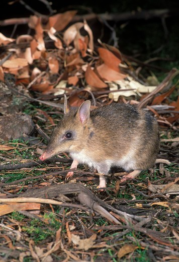 Stock Photo: 4141-34497 eastern barred bandicoot parameles gunnii tasmania, australia