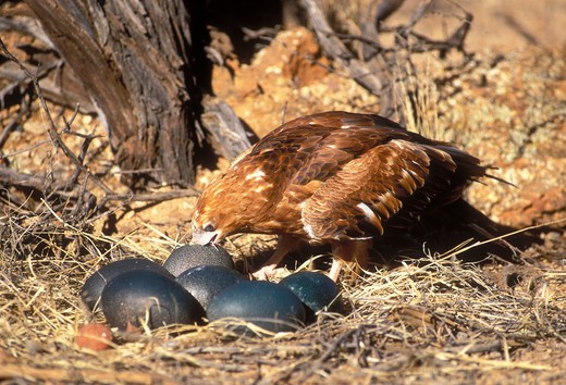 Stock Photo: 4141-34644 black-breasted buzzard hamirostra melanosternon drinking from emu egg recently broken open with stone central australia.