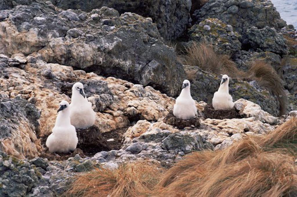 shy albatross young on nests diomedea cauta albatross island, tasmania, australia.  : Stock Photo