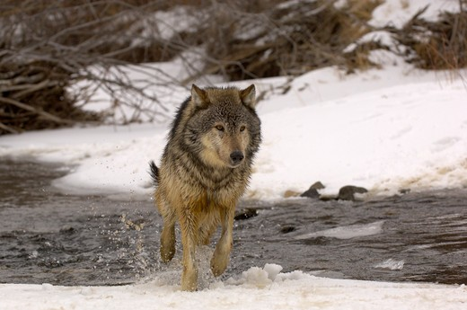 north american grey wolf canis lupis walking out of stream captive : Stock Photo