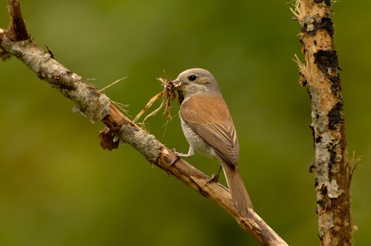 red-backed shrike lanius collurio female collecting nesting material : Stock Photo