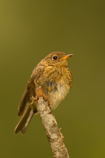 robin erithacus rubecula juvenile : Stock Photo