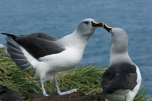 Stock Photo: 4141-3491 light-mantled sooty albatross phoebetria palpebrata south georgia island, sub-antarctic.