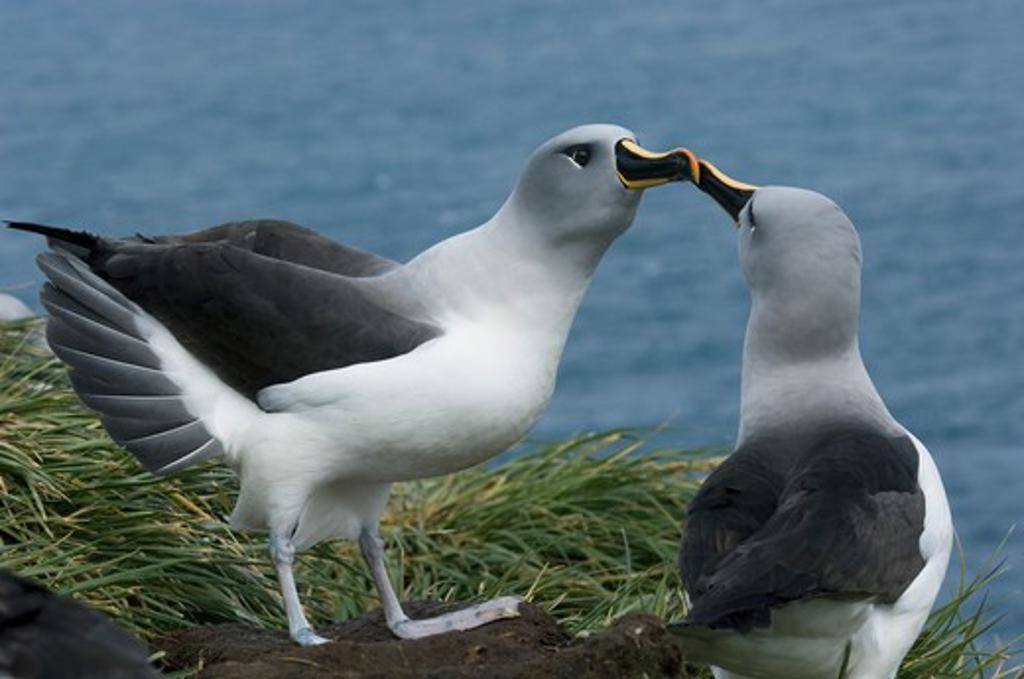 light-mantled sooty albatross phoebetria palpebrata south georgia island, sub-antarctic. : Stock Photo